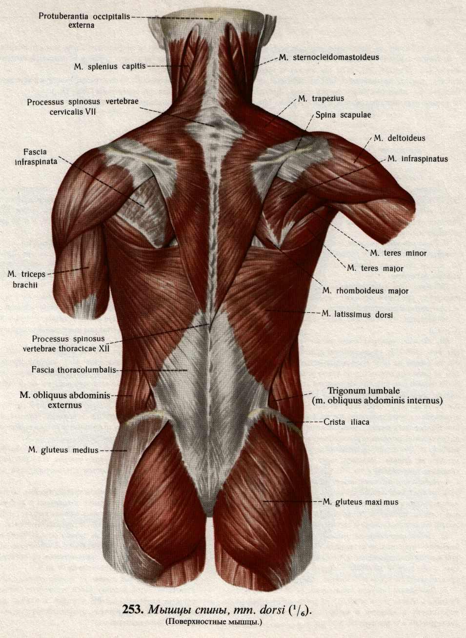 человек мышцы - Рабочие схемы и описания в быту.